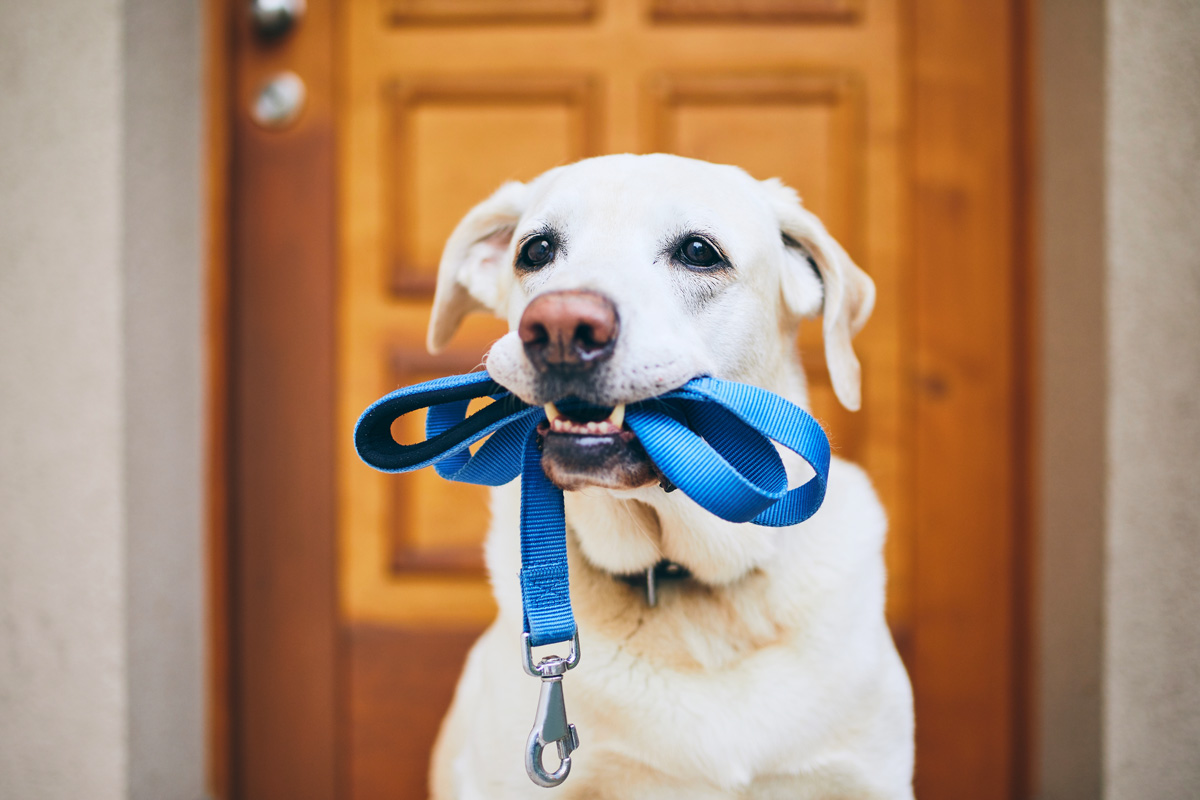 Dog holding a leash in his mouth